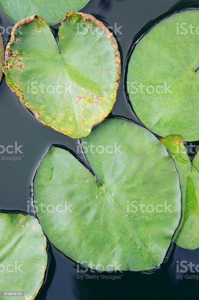 heart Lotus leaf, Lotus leaf-shaped heart stock photo