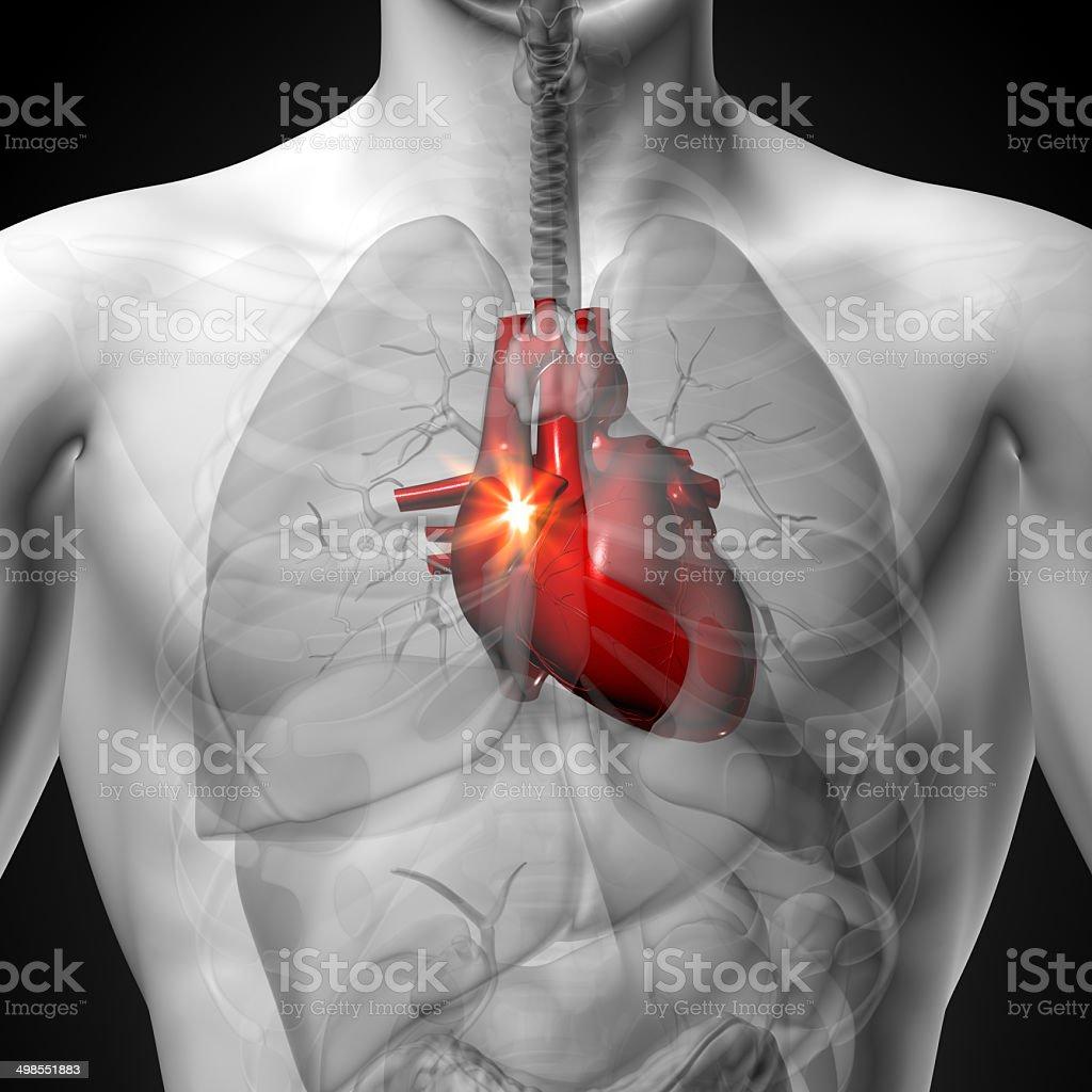 Fotografía de Corazón Hombre Anatomía De órganos Humanosvista De ...