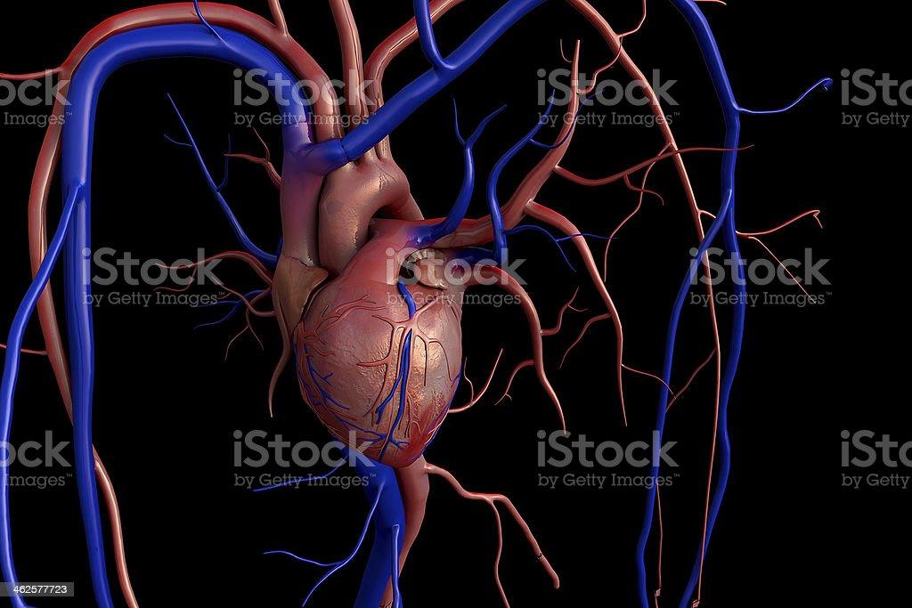 Heart model stock photo