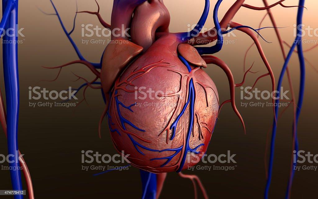 Modelo Heart - foto de acervo