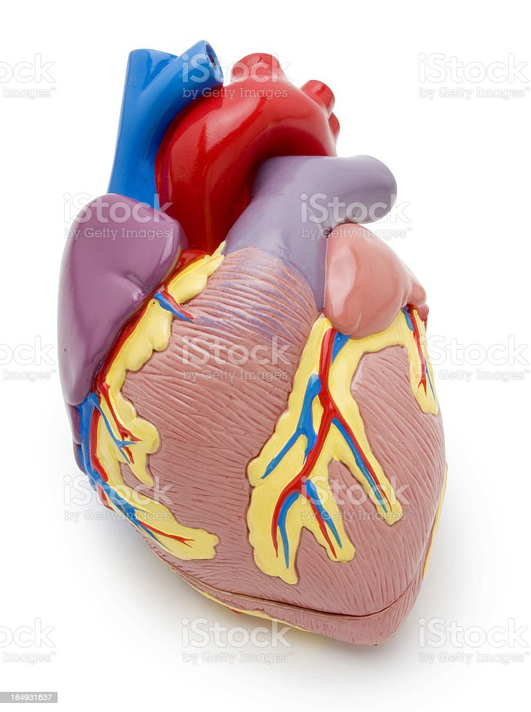 Heart model w/clipping path royalty-free stock photo