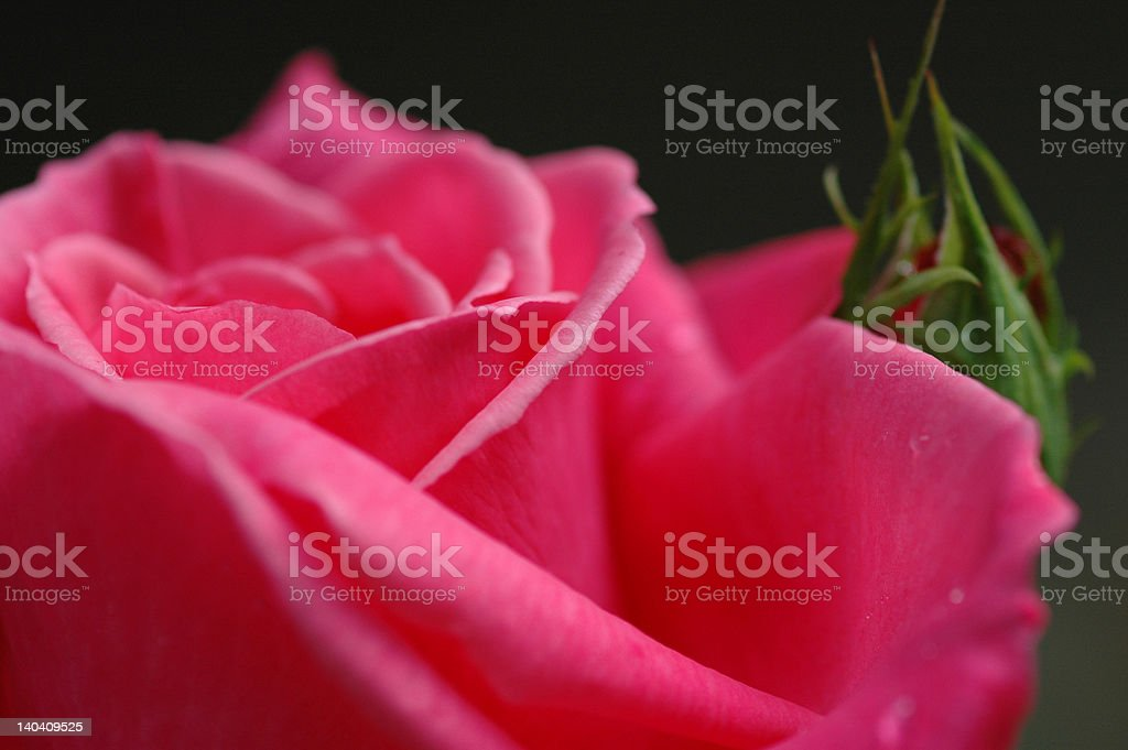 Heart of a deep pink rose stock photo
