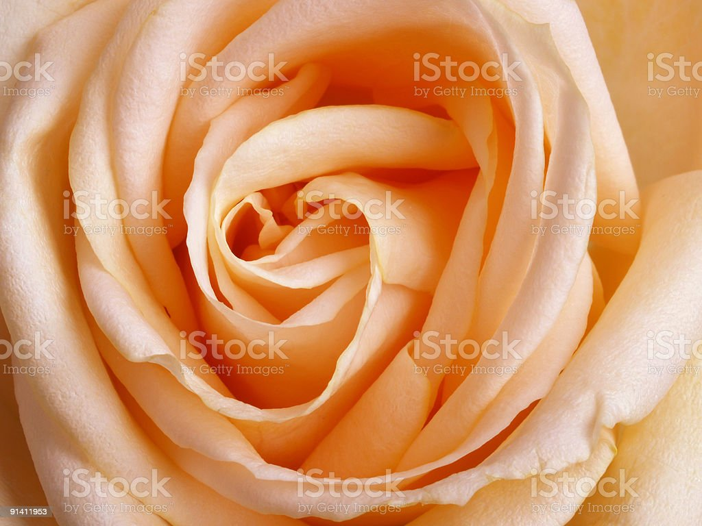 Heart of a rose royalty-free stock photo