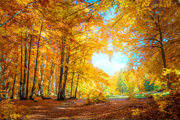 heart of autumn - yellow orange trees in forest with heart shape, sunny weather, good day - autumn foto e immagini stock