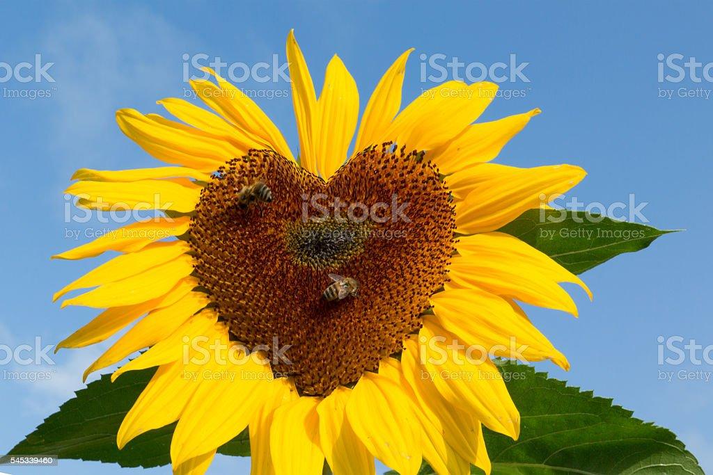 Herzen von Sonnenblume – Foto