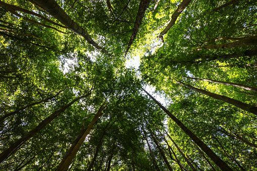 Heart shape in the forest canopy. Jasmund National Park, Rügen, Germany, part of the