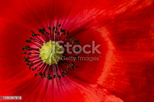 Detail of a Heart of the red Poppy - Papaver rhoeas, with the seedbox and flower pistils