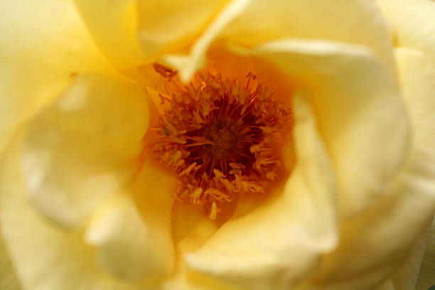 heart of the rose rose center abjure stock pictures, royalty-free photos & images