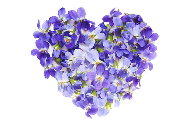Heart of violet flowers on white background picture id157588843?b=1&k=6&m=157588843&s=612x612&w=0&h=3tdz6sti66cmsbbti79zep0ijb16vkqyvbgwzjwwgh8=