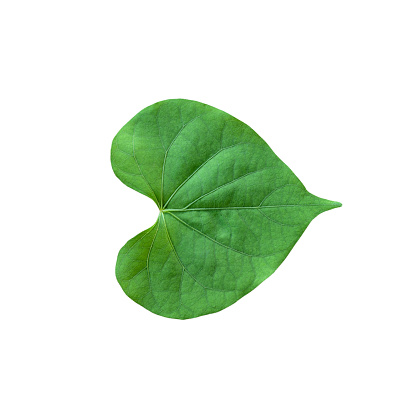 Heart shape green leaf isolated on white background.