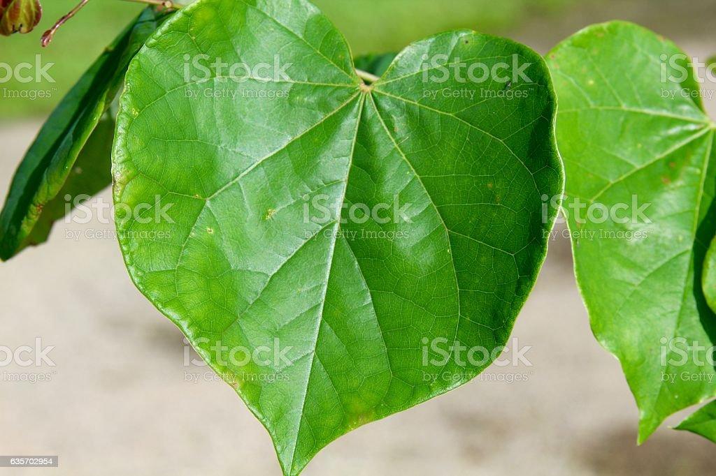 Heart Shape Green Leaf royalty-free stock photo