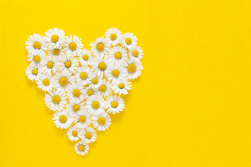 Heart shape made from white chamomile daisy flowers on yellow background. Alternative medicine.