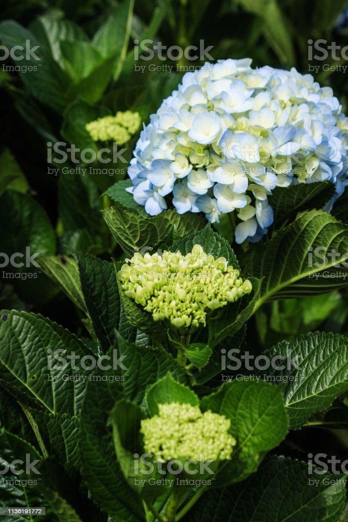 Heart shape of Blue hydrangea garden in mountain stock photo