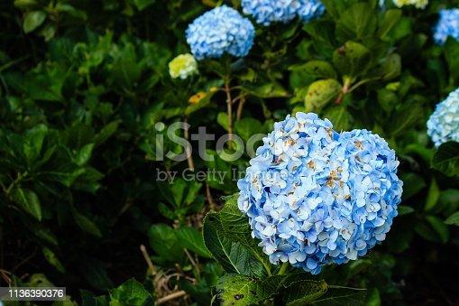 Heart shape of Blue hydrangea garden in mountain