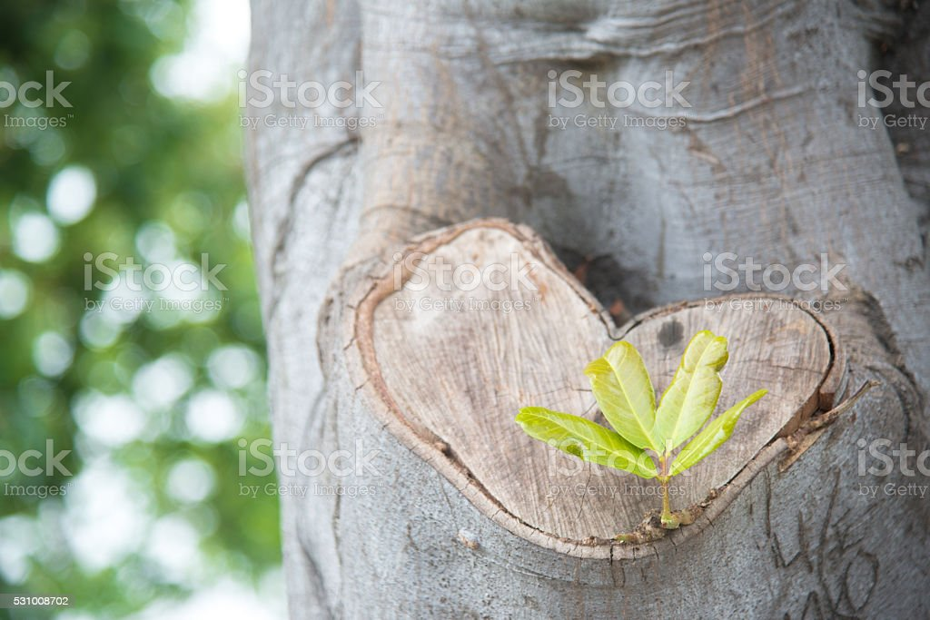 heart shape wood and sprout stock photo