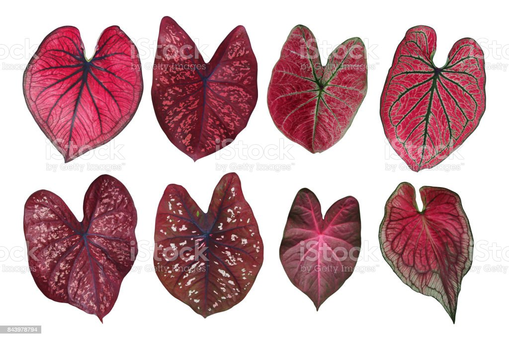 fantaisie en forme de coeur feuilles collection caladium rouge les feuilles de la plante de. Black Bedroom Furniture Sets. Home Design Ideas