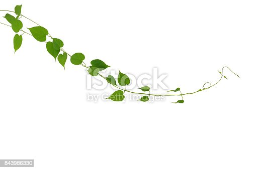 istock Heart shaped green leaf climbing vines plant isolated on white background, clipping path included. Cowslip creeper the medicinal tropical plant. 843986330