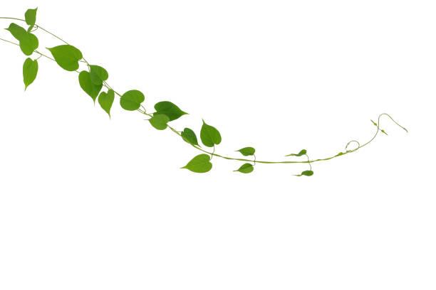 Herzförmige Blätter Reben Kletterpflanze isoliert auf weißem Hintergrund, Clipping-Pfad enthalten. Schlüsselblume Schlingpflanze tropische Heilpflanze. – Foto