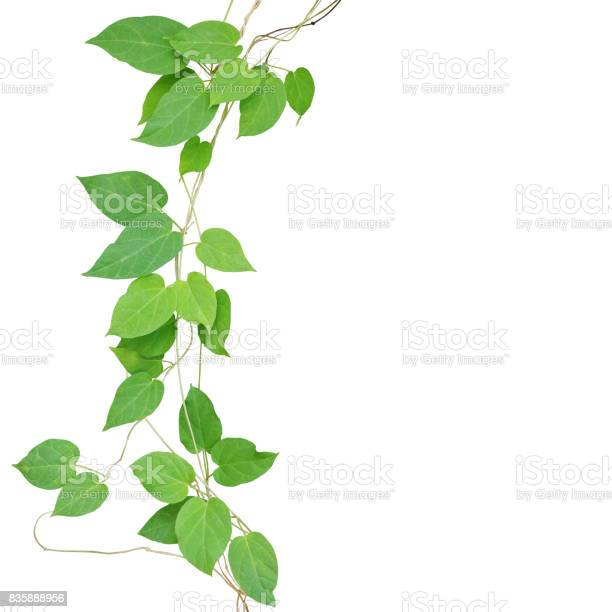 Heart shaped green leaf climbling vines isolated on white background picture id835888956?b=1&k=6&m=835888956&s=612x612&h=0n hxq3c519stfr3fxmhlnx4x6zw ndxtznmwb9 bvo=