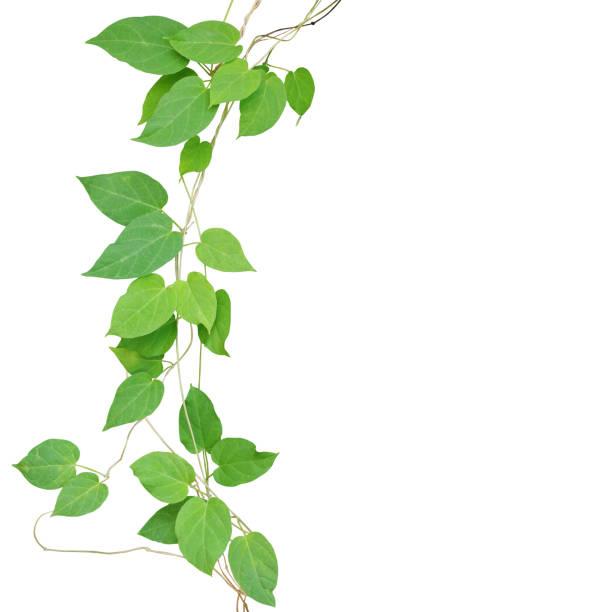 Herzförmige Blätter Bergwerkund Reben isoliert auf weißem Hintergrund, Schneidepfad enthalten. Schlüsselblume Schlingpflanze den Wild wachsenden tropischen Heilpflanze. – Foto