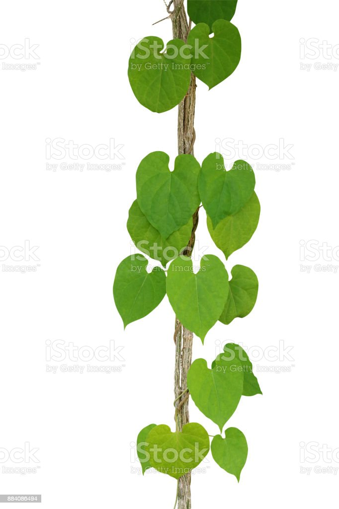 Heart shaped green leaf vine climbing and twist around jungle liana heart shaped green leaf vine cowslip creeper climbing and twist around jungle liana vine mightylinksfo