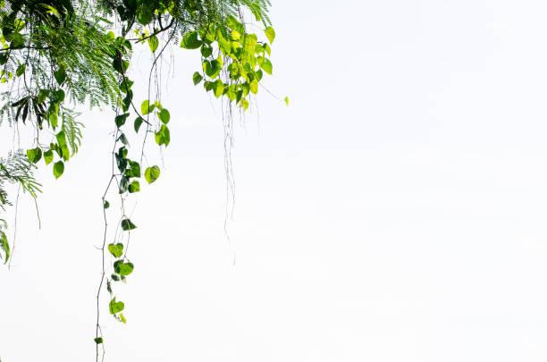 Herzförmige Blätter Rebe auf weißem Hintergrund – Foto