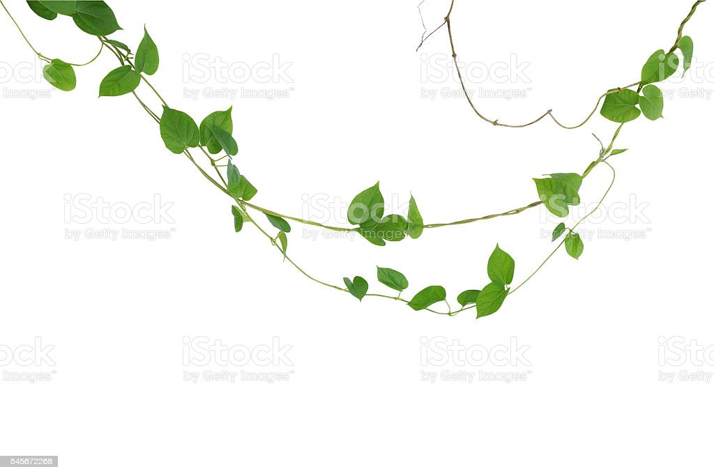 Heart shaped green leaf vines isolated on white background clip heart shaped green leaf vines isolated on white background clip royalty free stock photo mightylinksfo