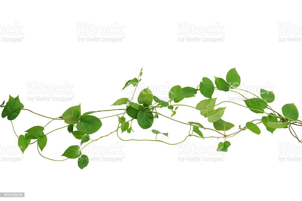 Herzförmiger grünen Blatt Reben isoliert auf weißem Hintergrund, klammer – Foto