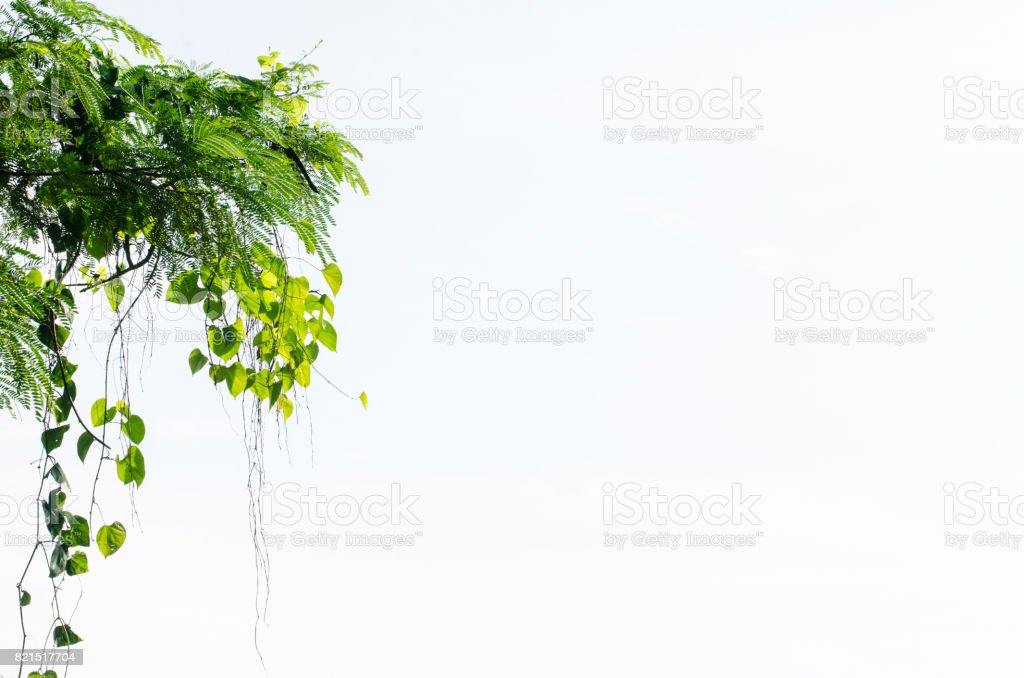 Heart shaped green leaf vines isolated on white background stock photo