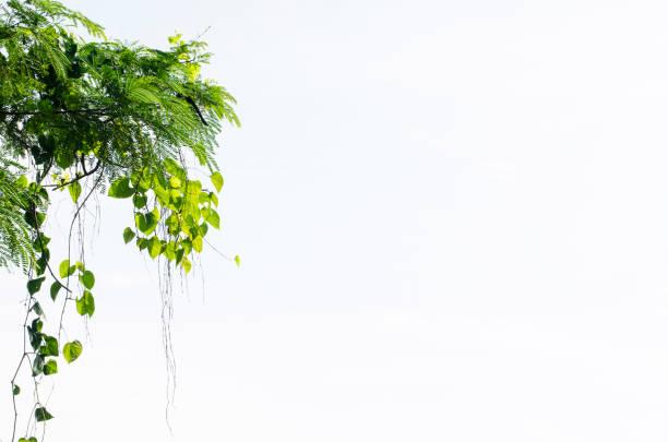 Herzförmige Blätter Reben isoliert auf weißem Hintergrund – Foto