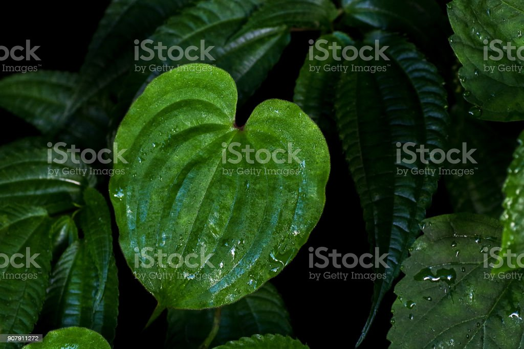 Heart shaped green leaf with after rain water drops of climbing perennial herb plant (Streptolorion volubile) in tropical montane rainforest on dark forest leaves nature background.