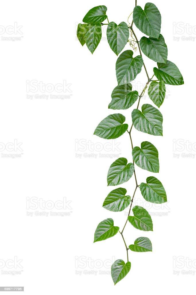 Heart shaped green leaves jungle vine isolated on white backgrou heart shaped green leaves jungle vine isolated on white backgrou royalty free stock photo mightylinksfo