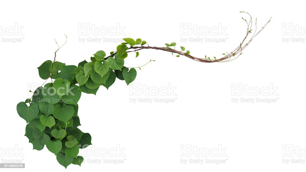 Heart shaped green leaves of Obscure morning glory (Ipomoea obscura) climbing vine plant isolated on white background, clipping path included. stock photo