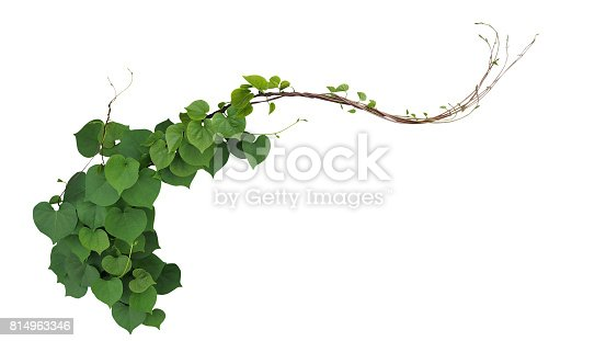Heart Shaped Green Leaves Of Obscure Morning Glory ...