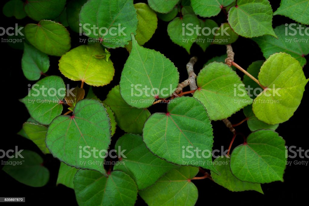 Heart Shaped Green Leaves Of Sea Hibiscus Miniature Bonsai Tree On