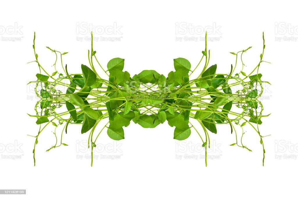 Heart Shaped Green Leaves Twisted Binahong Plant For Herbal Medicine Isolated On White Background With Clipping Path Included Floral Desaign Hd Image And Large Resolution Can Be Used As Wallpaper Stock Photo