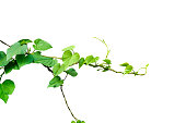 Heart shaped green leaves vine isolated on white background. Carefully cutout and insert clipping path.