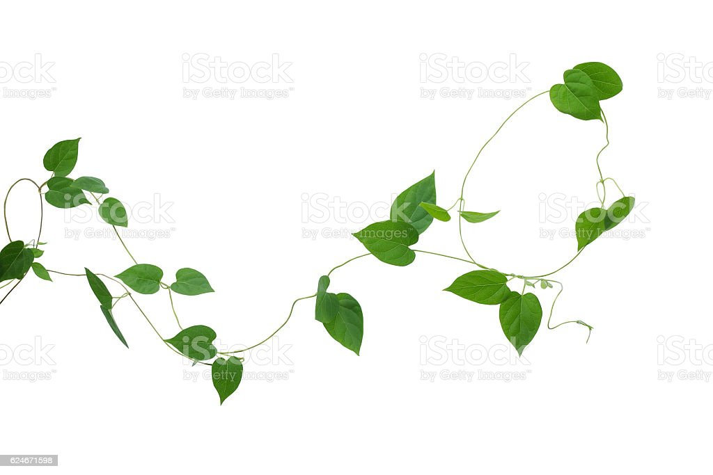 Heart shaped green leaves vines isolated on white background, cl stock photo