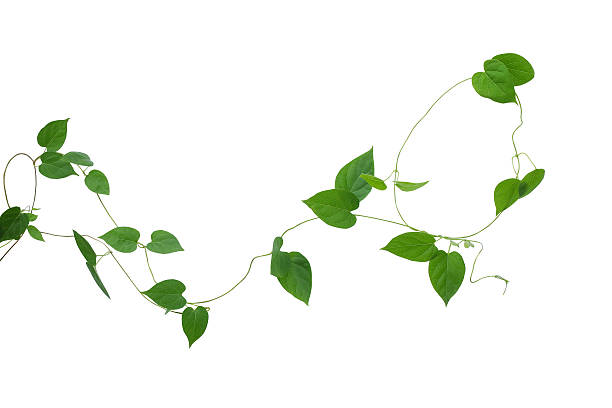 Heart shaped green leaves vines isolated on white background, cl – Foto