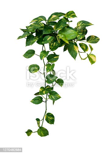 """istock Heart shaped green variegated leave hanging vine plant bush of devil""""u2019s ivy or golden pothos (Epipremnum aureum) popular foliage tropical houseplant isolated on white with clipping path. 1270482684"""