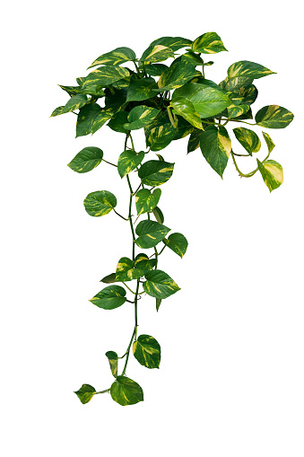 Heart shaped green variegated leave hanging vine plant bush of devils ivy or golden pothos (Epipremnum aureum) popular foliage tropical houseplant isolated on white with clipping path.