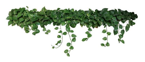 en forme de coeur vertes panachées de lierre du diable ou de pothos doré (epipremnum aureum), plante de feuillage tropical bush souhait suspendus pampres isolés sur fond blanc, un tracé de détourage inclus. - couleur des végétaux photos et images de collection