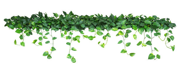 Heart shaped green yellow leaves of devil's ivy or golden pothos stock photo