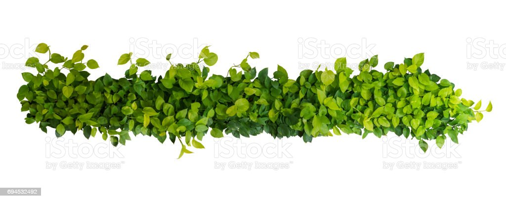 Heart shaped green yellow leaves of devil's ivy or golden pothos, panoramic top view bush isolated on white background, clipping path included. stock photo