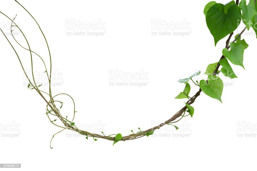 Heart shaped greenery leaves of Obscure morning glory (Ipomoea obscura) climbing vine plant isolated on white background, clipping path included. stock photo