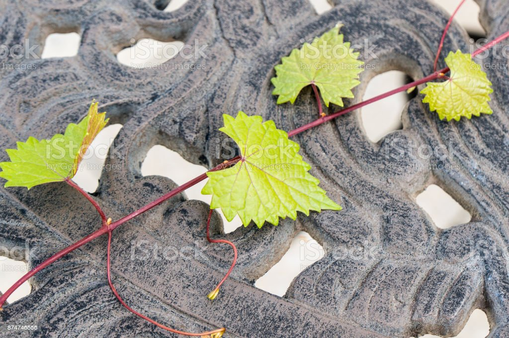 heart shaped  jagged leaf on a vine in selective focus stock photo