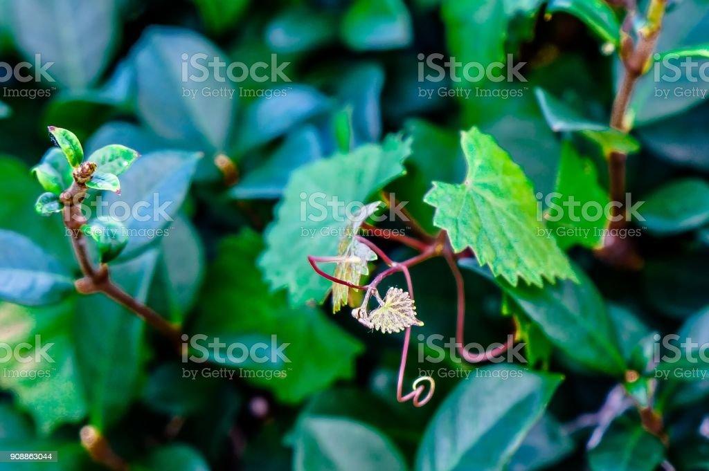 coração em forma de folha denteada em uma videira em foco seletivo - foto de acervo
