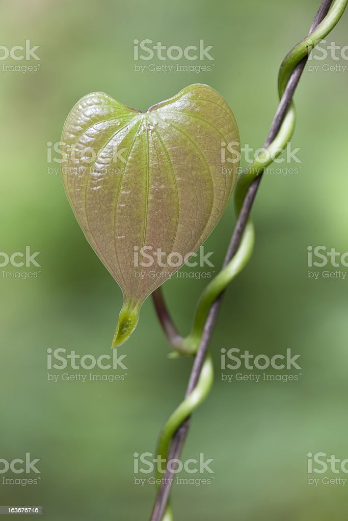 Heart shaped leaf of a creeper plant. stock photo