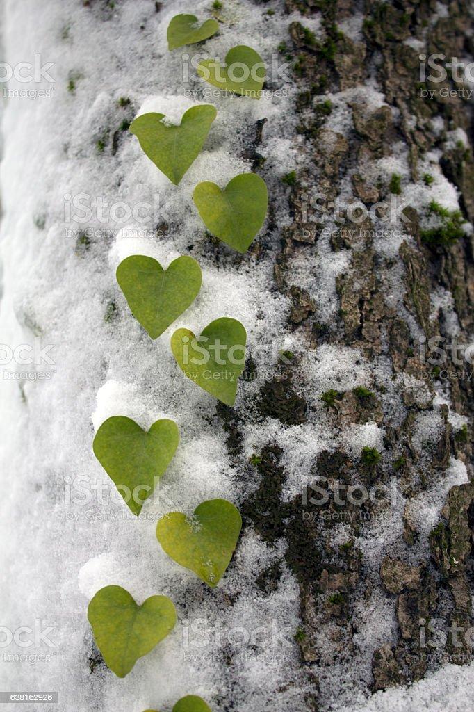 Heart Shaped Leaf on Tree stock photo