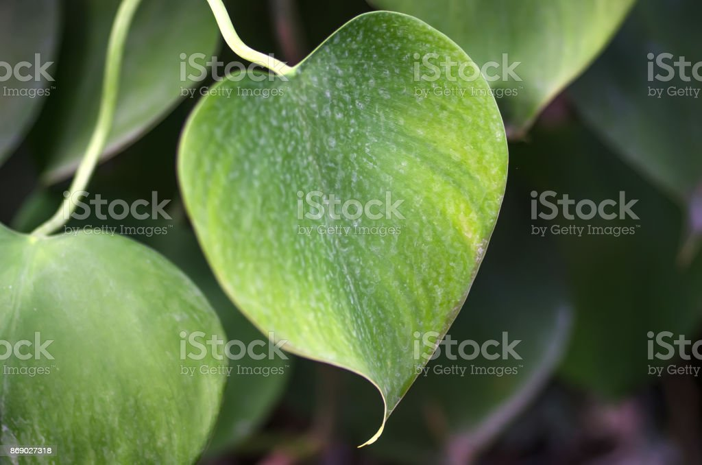 Heart shaped leaf stock photo